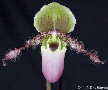 Hoa gieo tứ tuyệt 3 - Page 18 Paphglaucophyllum